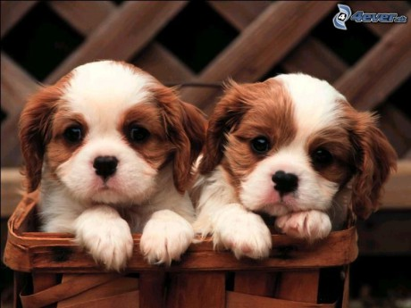 Dogs pictures / fotografije pasa - Page 5 Psie-steniatka